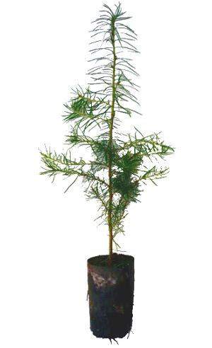 Forstpflanzen
